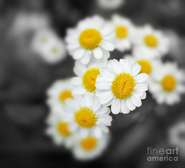 Closeup Print featuring the photograph Chamomile by Jane Rix
