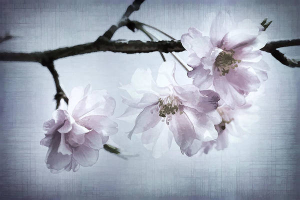 Cherry Print featuring the photograph Cherry Blossom Sweetness by Kathy Clark