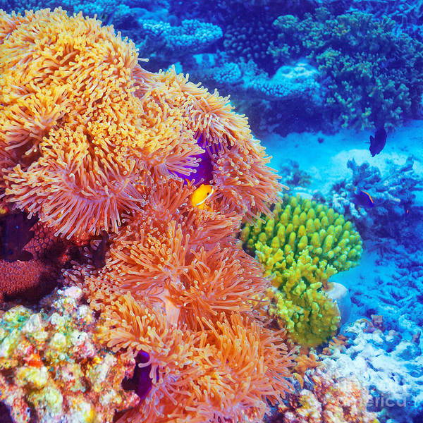 Maldives Print featuring the photograph Clown Fish In Coral Garden by Anna Omelchenko