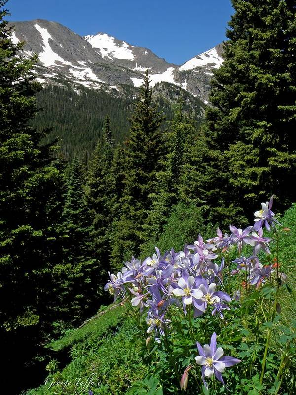 Columbines Print featuring the photograph Colorado Classic by George Tuffy