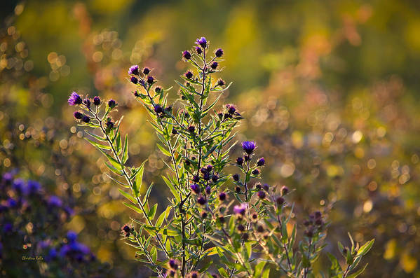 Colorful Print featuring the photograph Colorful Bouquet Of Purple Aster Flowers by Christina Rollo