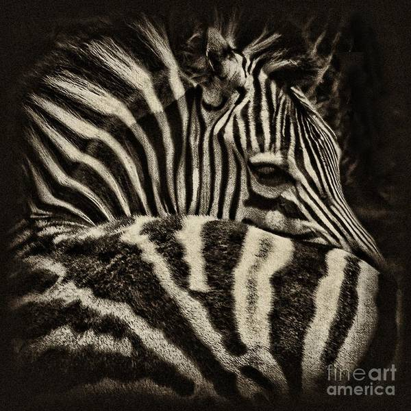 Zebra Print featuring the photograph Comfort by Andrew Paranavitana
