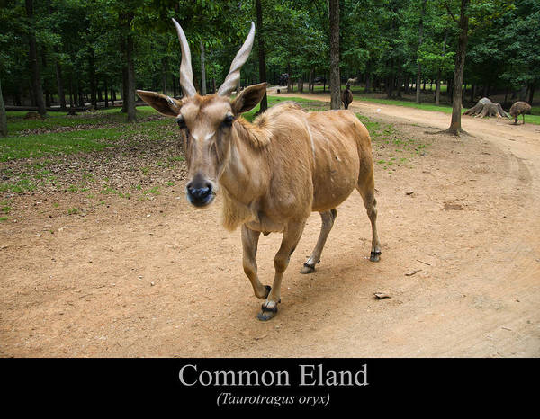 Class Room Posters Print featuring the digital art Common Eland by Chris Flees