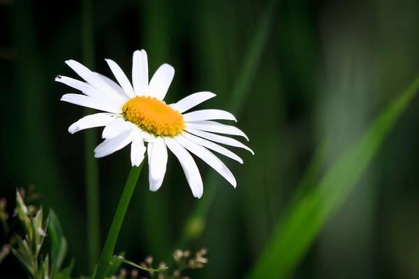 Flower Print featuring the photograph Daisy - Bellis Perennis by Bob Orsillo