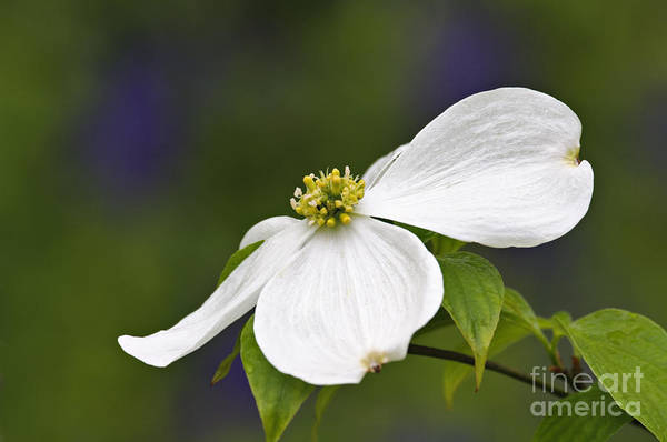 Eastern Print featuring the photograph Dogwood Blossom - D001797 by Daniel Dempster