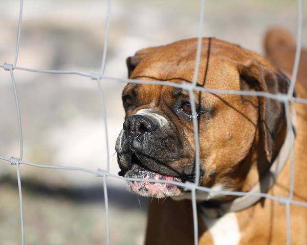 Boxer Print featuring the photograph Don't Fence Me In by Terry Fleckney