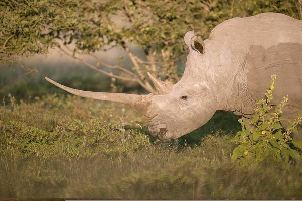 Adult Print featuring the photograph Female White Rhinoceros Grazing by Science Photo Library