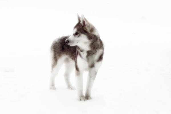 Wolf Photography Dave Pucciarelli Print featuring the photograph First Winter by Iconic Images Art Gallery David Pucciarelli