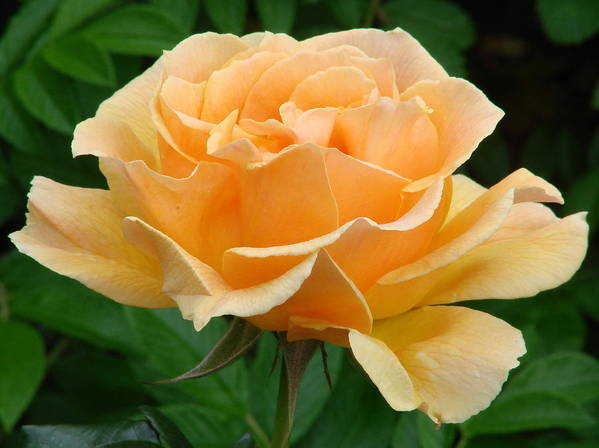 Image Gallery Of Living Easy Rose