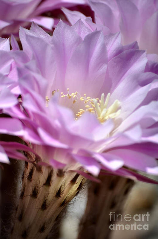 Cactus Flowers Print featuring the photograph Fragile Beauty by Deb Halloran