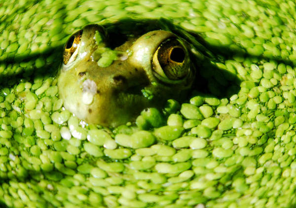 Green Algae Print featuring the photograph Frog Eye's by Optical Playground By MP Ray