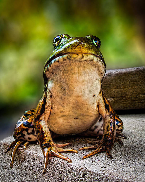 Frog Print featuring the photograph Frog Prince Or So He Thinks by Bob Orsillo