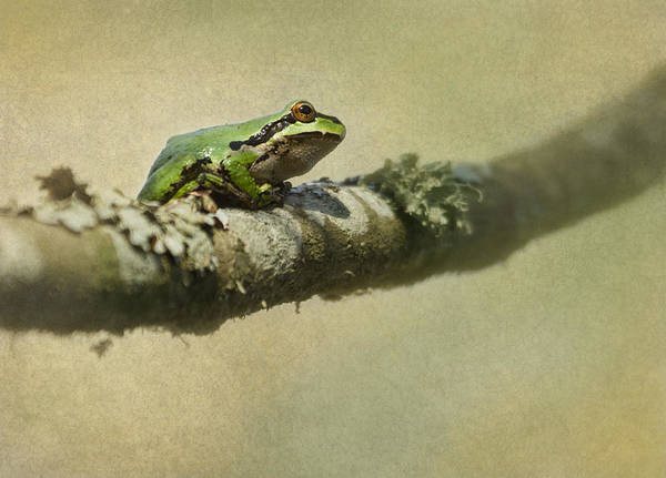 Frog Print featuring the photograph Frog Up A Tree by Angie Vogel