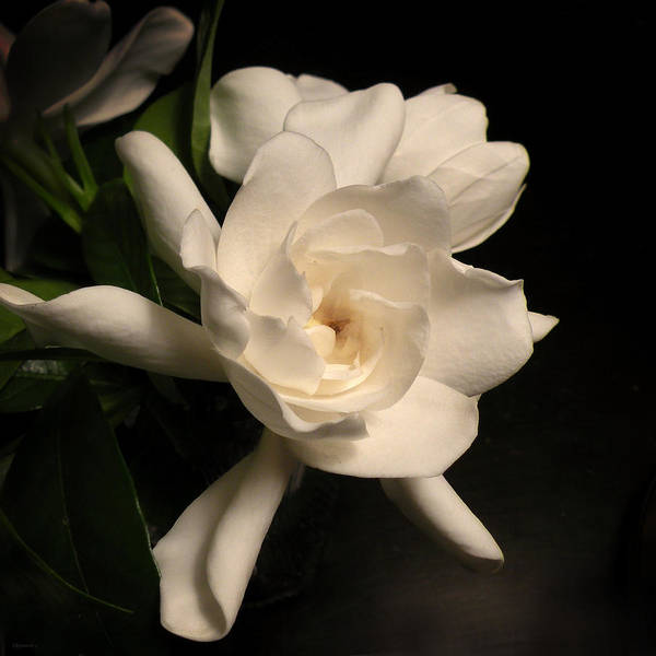 Flower Print featuring the photograph Gardenia Blossom by Deborah Smith