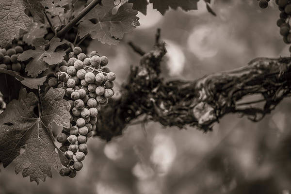 Fine Art Print featuring the photograph Grapes In Grey 1 by Clint Brewer