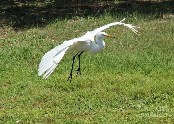 Great White Egret Print featuring the photograph Great Egret Landing by Theresa Willingham