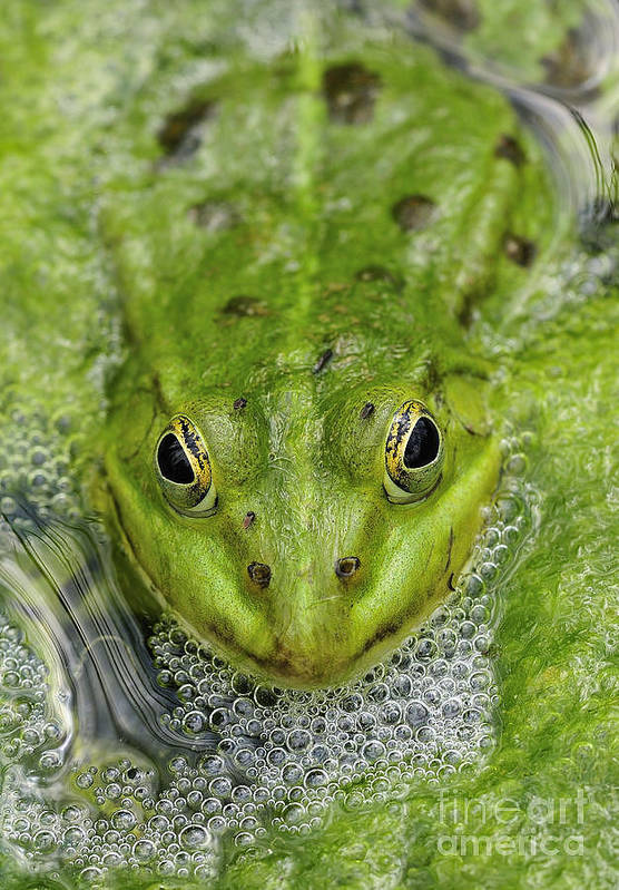 Frog Print featuring the photograph Green Frog by Matthias Hauser