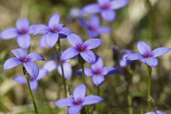 Tiny Bluet Print featuring the photograph Happy Tiny Bluet Wildflowers by Kathy Clark