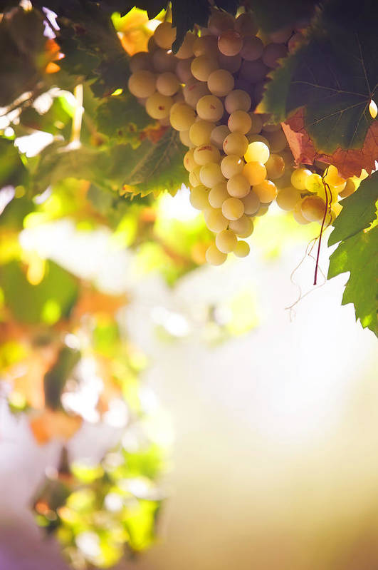 Grape Print featuring the photograph Harvest Time. Sunny Grapes I by Jenny Rainbow