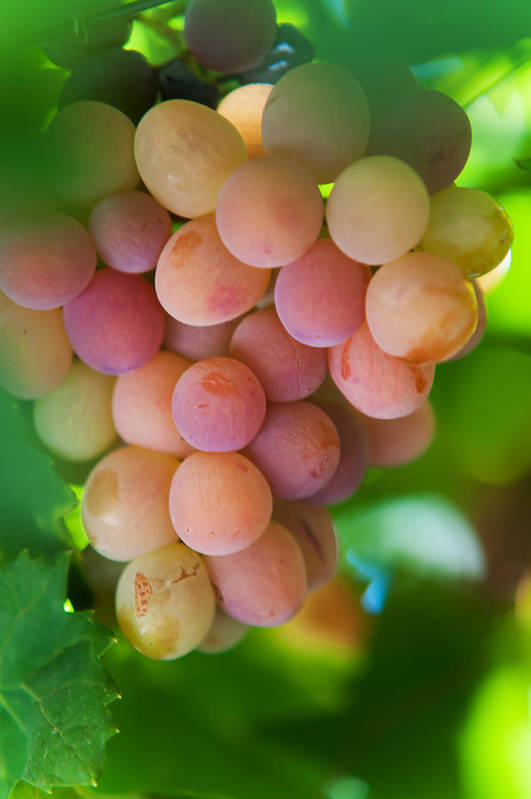 Grape Print featuring the photograph Harvest Time. Sunny Grapes by Jenny Rainbow