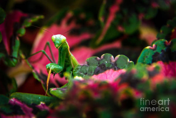 Praying Mantis Print featuring the photograph Here I Am by Robert Bales