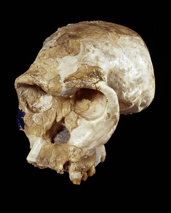 Oh 24 Print featuring the photograph Homo Habilis Cranium (oh 24) by Science Photo Library
