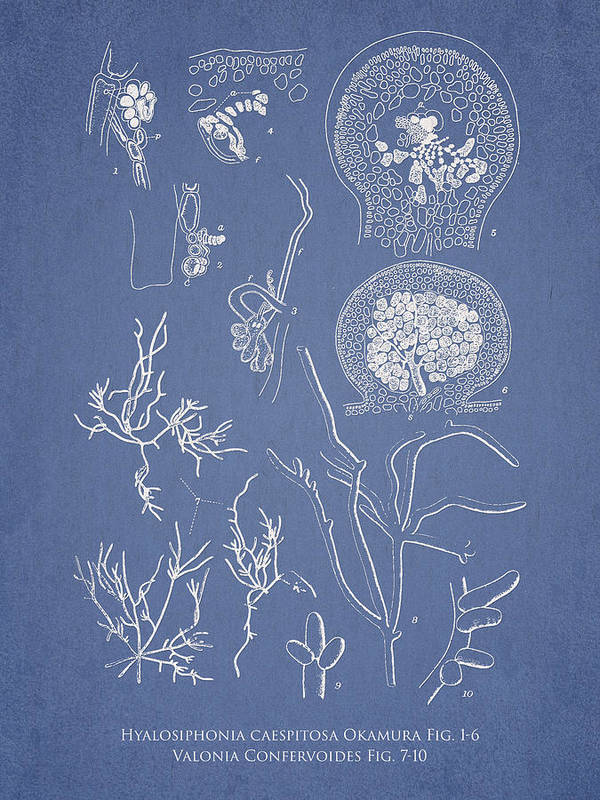 Algae Print featuring the drawing Hyalosiphonia Caespitosa Okamura Valonia Confervoides by Aged Pixel