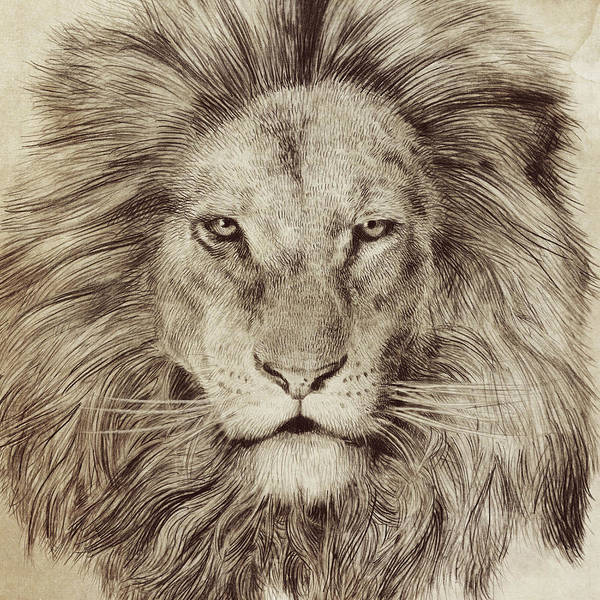 Lion Print featuring the drawing Leo by Eric Fan