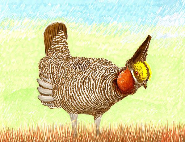 High Plains Chicken Print featuring the painting Lesser Prairie Chicken by Jack Pumphrey