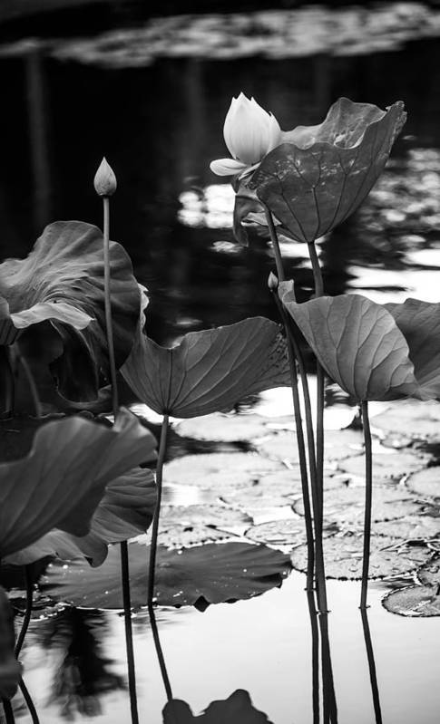 Mauritius Print featuring the photograph Lotuses In The Pond I. Black And White by Jenny Rainbow