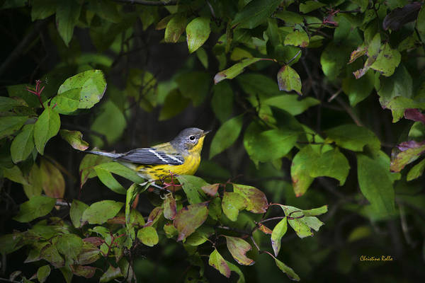 Bird Print featuring the photograph Magnolia Warbler by Christina Rollo
