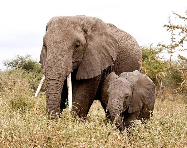 elephant animal wildlife africa nature wild big portrait mammal elephants animals safari african white loxodonta baby africana park black nobody trunk large view national vertical We've shipped over 1 million items worldwide for our ,+ artists.