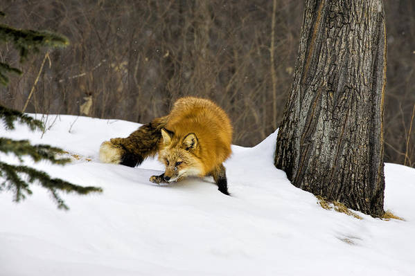 Fox Print featuring the photograph Mousing by Jack Milchanowski