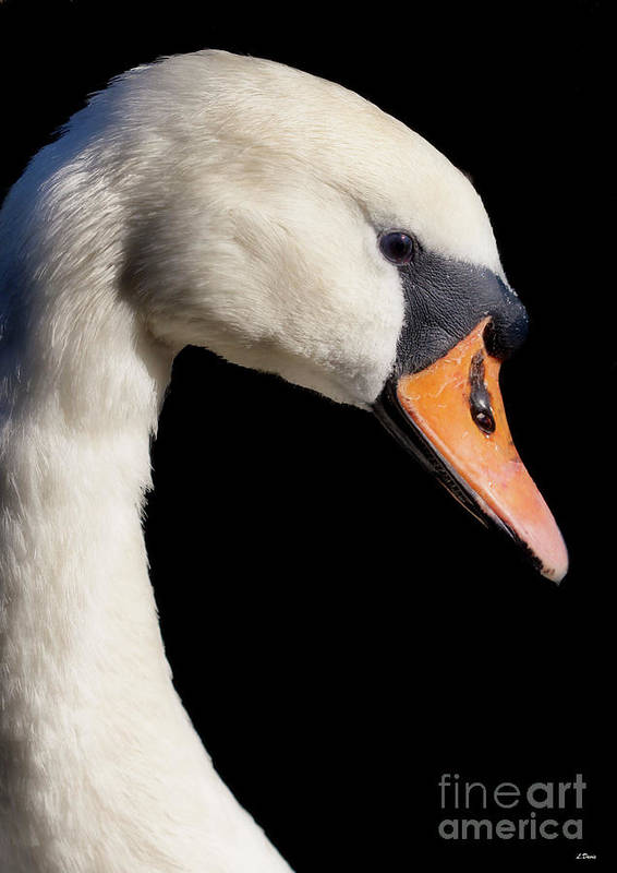 Swans Print featuring the photograph Mute Swan by Wobblymol Davis