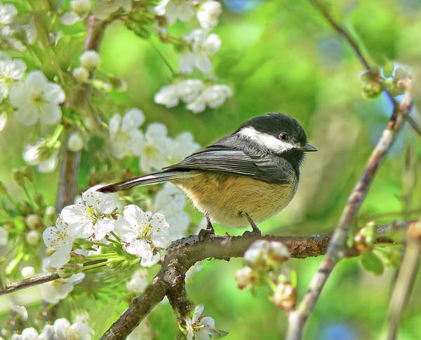Chickadee Print featuring the photograph My Little Chickadee In The Cherry Tree by Jennie Marie Schell