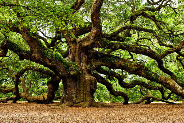 Angel Oak Photographs Print featuring the photograph Mystical Angel Oak Tree by Louis Dallara