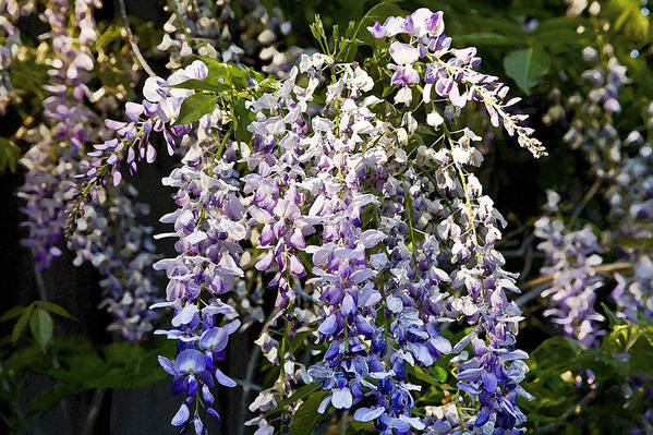 Wisteria Print featuring the photograph Nancys Wisteria 3 Db by Rich Franco