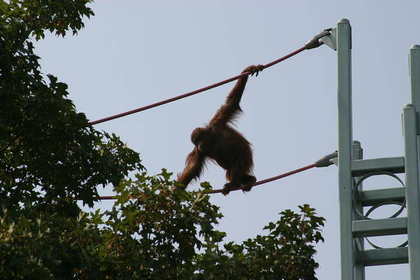 National Print featuring the photograph National Zoo - Orangutan - 12122 by DC Photographer