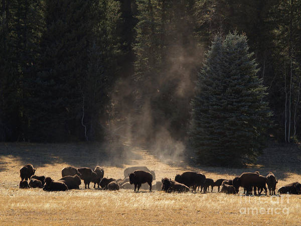 Landscape Print featuring the photograph North Rim Bison Of The Grand Canyon by Alex Cassels