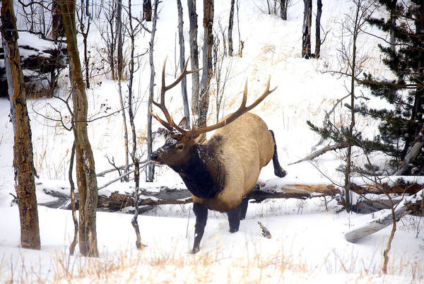 Elk Print featuring the photograph On The Move by Mike Dawson