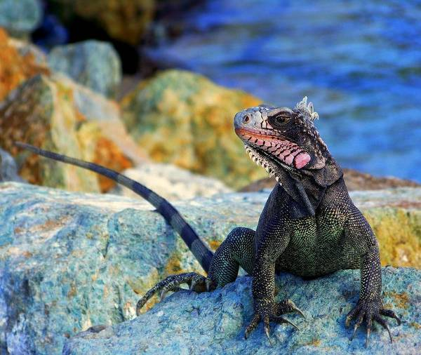 Iguana Print featuring the photograph On The Prowl by Karen Wiles