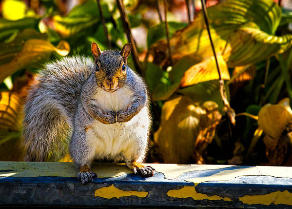 One Gray Squirrel Print featuring the photograph One Gray Squirrel by Bob Orsillo