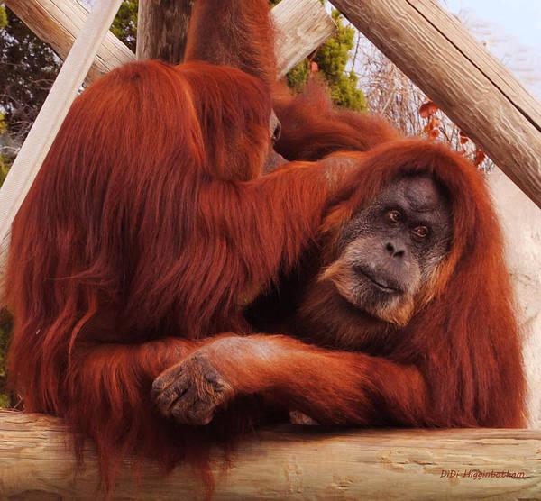Orangutans Print featuring the photograph Orangutans Grooming by DiDi Higginbotham