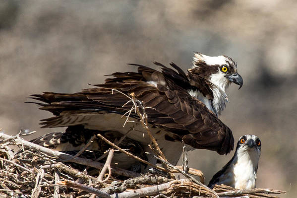 Osprey Print featuring the photograph Osprey Family Huddle by John Daly