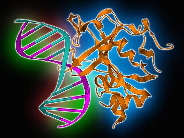 Artwork Print featuring the photograph Oxoguanine Glycosylase Complex by Science Photo Library