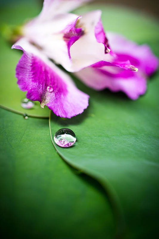 Floral Print featuring the photograph Peruvian Lily Raindrop by Priya Ghose
