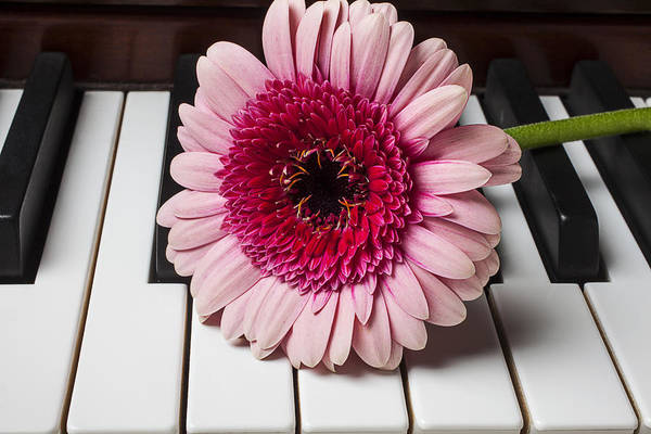 Pink Print featuring the photograph Pink Mum On Piano Keys by Garry Gay