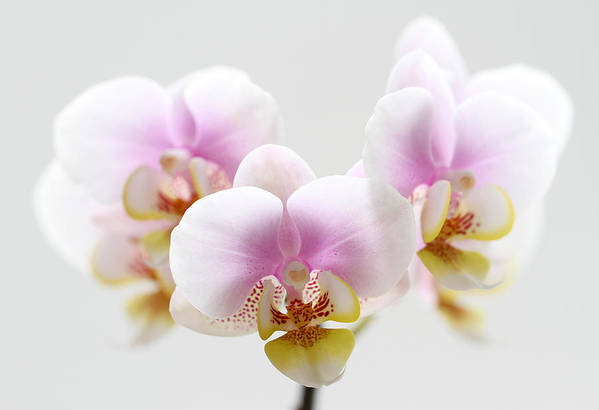 Orchid Print featuring the photograph Pink Sensation by Juergen Roth