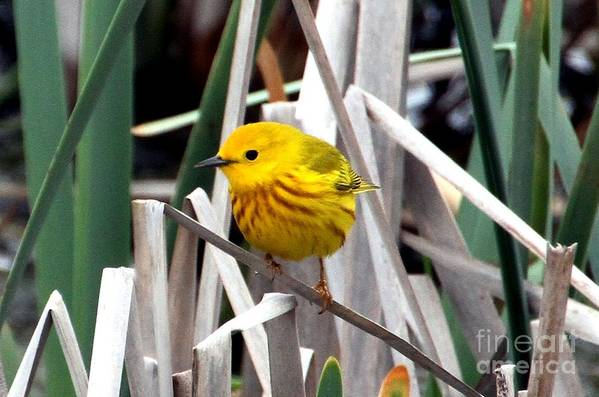 Yellow Warbler Print featuring the photograph Pretty Little Yellow Warbler by Elizabeth Winter