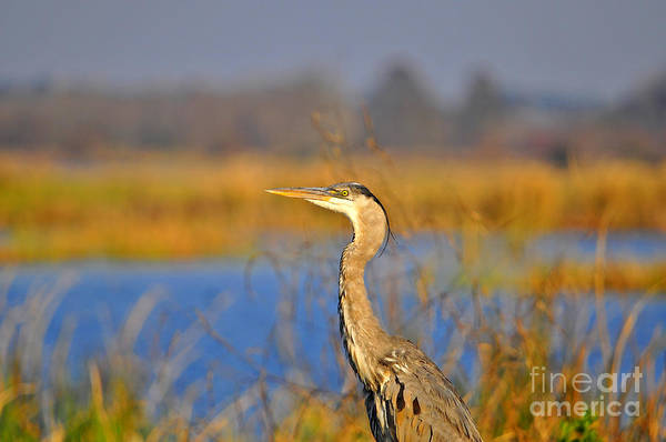 Heron Print featuring the photograph Proud Profile by Al Powell Photography USA